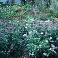 晩夏の花壇