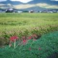 Photos: 稲と彼岸花