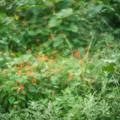 マルバルコウの繁み