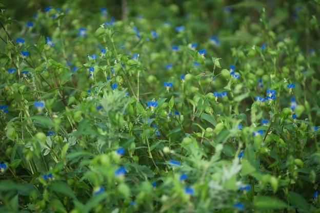 Photos: 青い花