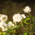 THT 白薔薇