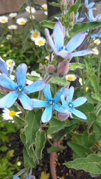 Photos: 庭に咲いてます。