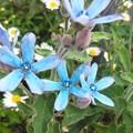 庭に咲いてます。