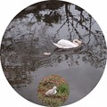 Photos: 白鳥の親子
