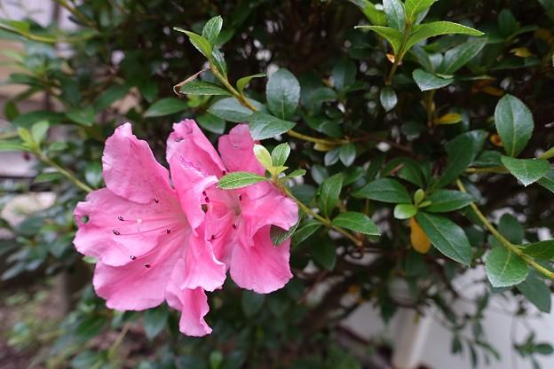庭の花1 アザレア