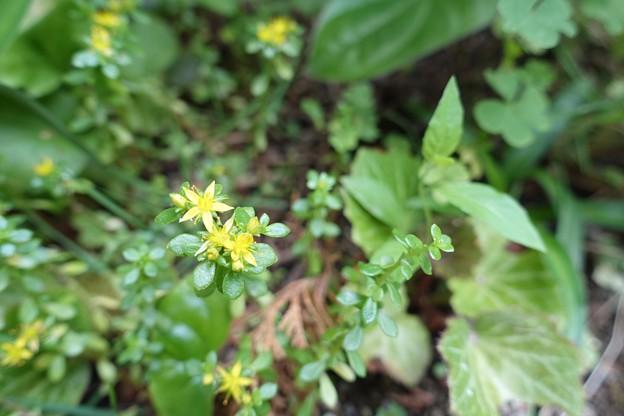 庭の花2 コモチマンネングサ