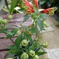 Photos: 花瓶の花1  アルストロメリア・プルケア