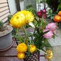 Photos: 花瓶の花2   ヘリクリサム(ムギワラギク)
