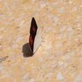 本福寺で見たチョウ1 ウラギンシジミ
