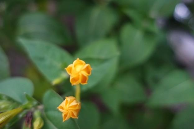 Photos: これから咲きます!