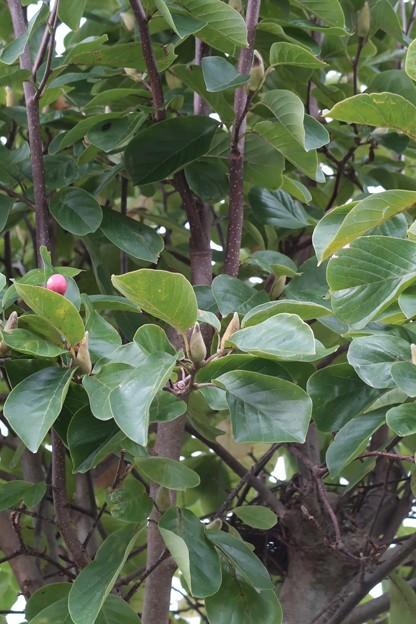 初秋2 コブシに来年の花芽が