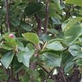 Photos: 初秋2 コブシに来年の花芽が