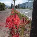 ヒガンバナ3  歩道の植樹帯に