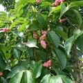 木の実3  コブシ