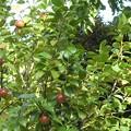 Photos: 木の実1   ツバキの実