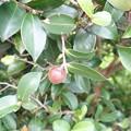 Photos: 木の実2  サザンカの実