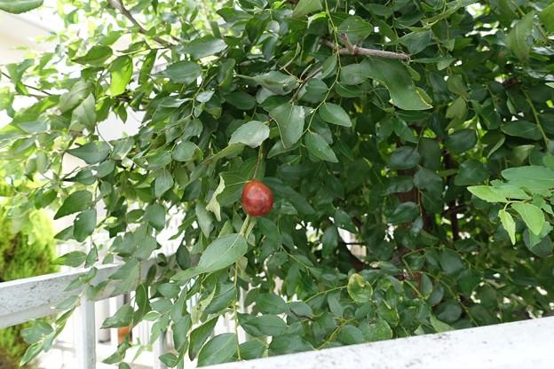 木の実3  ナツメ