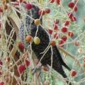 Photos: 木の実1  ビンロウジュの実