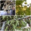 Photos: 木の実2   アオギリの花と実
