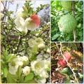Photos: ボケの花と実