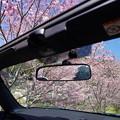 世羅町桜 (22)