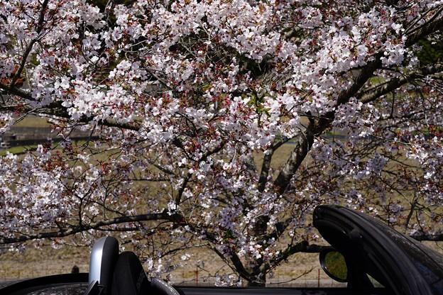 世羅町桜 (17)