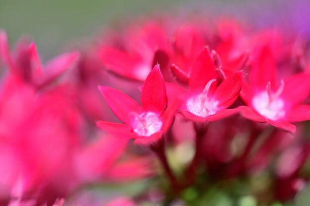 赤い千日紅
