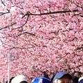 02 満開の桜並木