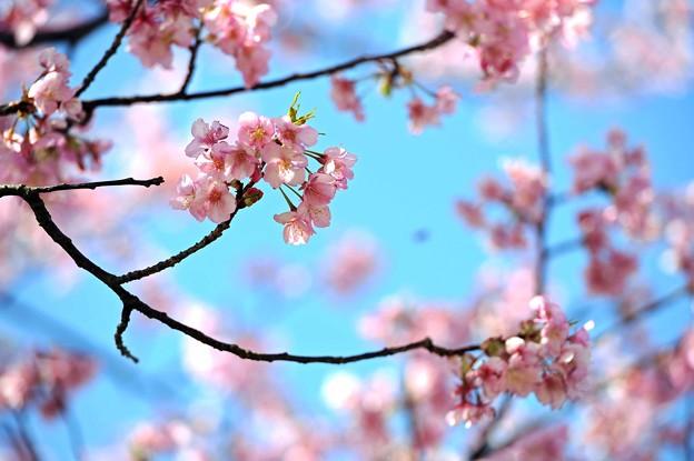 04 花に囲まれた桜
