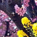 07 菜の花と河津桜