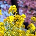 12 足元の菜の花