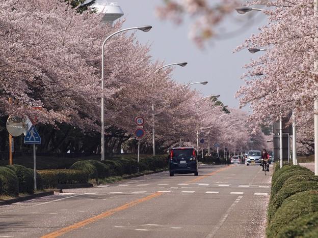2021/03/31_農林さくら通り_1