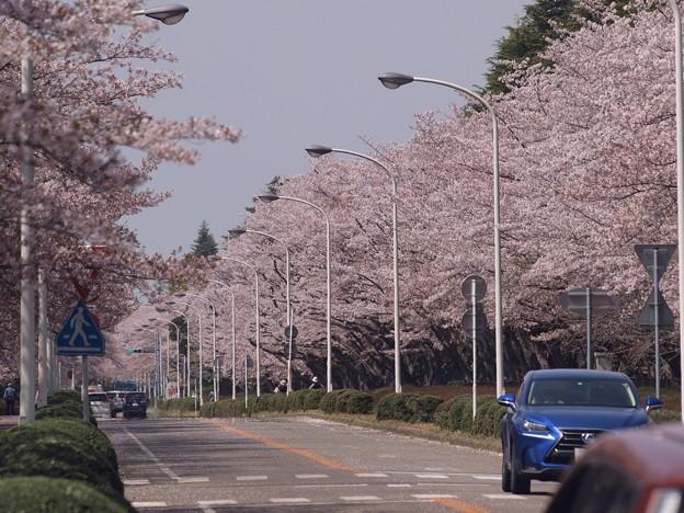 2021/03/31_農林さくら通り_2