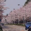 Photos: 2021/03/31_農林さくら通り_2