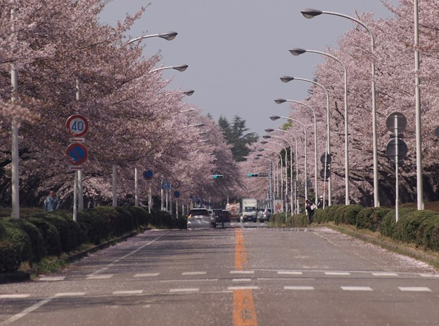 2021/03/31_農林さくら通り_3