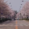 Photos: 2021/03/31_農林さくら通り_3