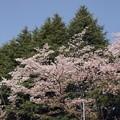 Photos: 2021/03/31_農林さくら通り_4