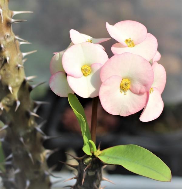 ピンク花のハナキリン