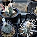 テフロ2種3鉢