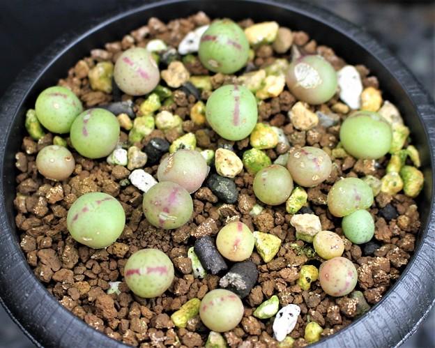 大型足袋型コノフィツム幼苗
