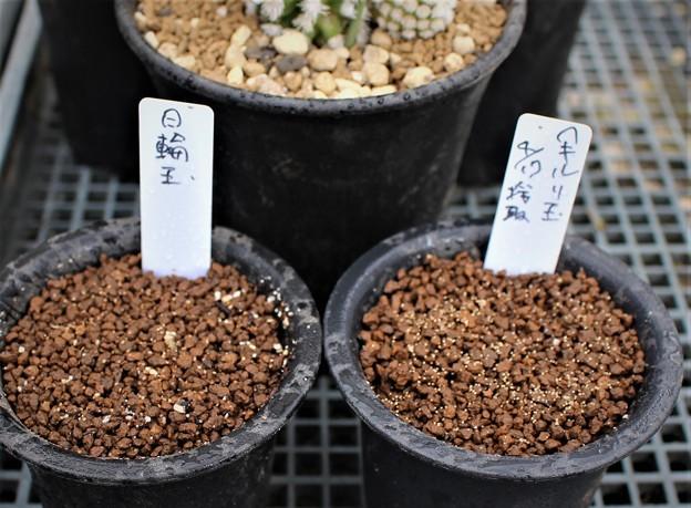 リトープス種蒔き