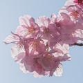 陽光桜咲く