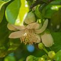 Photos: 晩白柚(ばんぺいゆ)の花