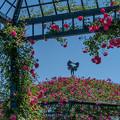Photos: 盛りをちょこっと過ぎたバラ園