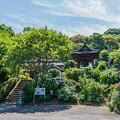 Photos: 紫陽花寺