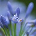 Photos: 紫君子蘭