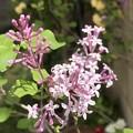 わが家の花2