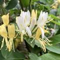 散歩道の花・スイカズラの花
