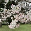Photos: 10月桜2