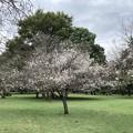 Photos: 10月桜1